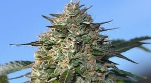 Award-Winning Cannabis Flower | Maggie's Farm Marijuana