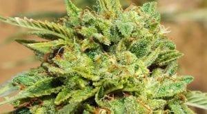 Award-Winning Cannabis Flower | Maggie's Farm Marijuana